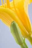 Daffodil. Captured very close up royalty free stock photos