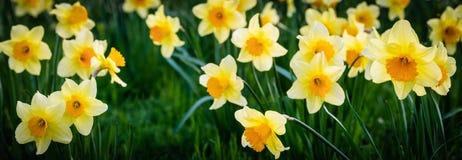 Daffodil Стоковое Изображение