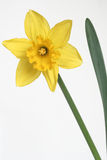 Daffodil. On background royalty free stock image