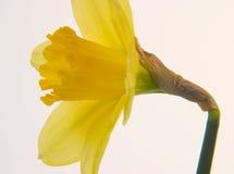 Daffodil immagini stock