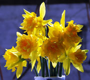 Daffodil. Yellow daffodils royalty free stock photos