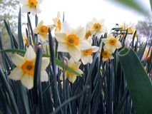 Daffodil. S in spring royalty free stock image