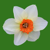 Daffodil. White orange daffodil stock image