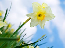 Daffodil royalty free stock photo