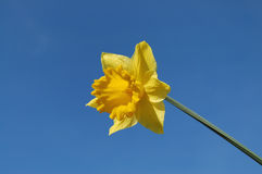 Daffodil Royalty Free Stock Images