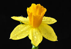 Daffodil. Yellow Daffodil with a black background Royalty Free Stock Photos