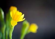 Daffodil Foto de Stock