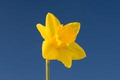 Daffodil Στοκ Εικόνα
