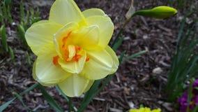 Daffodil Стоковая Фотография