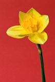 Daffodil Στοκ εικόνες με δικαίωμα ελεύθερης χρήσης