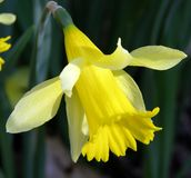 Daffodil. Early spring daffodil royalty free stock photos