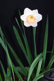 Daffodil. In bloom in garden Stock Images