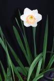 daffodil Стоковые Изображения