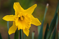 Daffodil. The original springtime flower, a daffodil Royalty Free Stock Photography