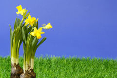 Daffodil stock photography