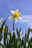 Daffodil Against Blue Sky stock photo