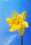 Daffodil against sky. Daffodil against a blue sky background Stock Photo