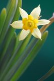 Daffodil amarelo Fotos de Stock Royalty Free
