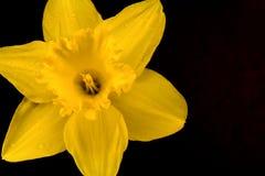 Daffodil amarelo Fotografia de Stock Royalty Free