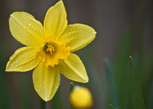 Daffodil amarelo Fotos de Stock Royalty Free