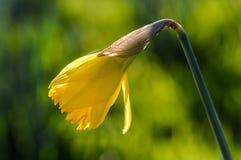 Daffodil amarelo de florescência Imagem de Stock Royalty Free