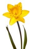 Daffodil amarelo isolado imagem de stock