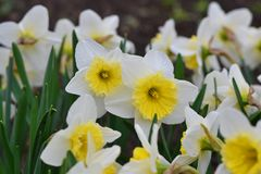The Daffodil or Amaryllidaceae Stock Photo