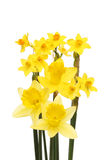 Daffodil arrangement isolated Royalty Free Stock Photo