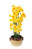 Daffodil arrangement Stock Photography