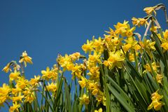 Daffodil background Stock Image