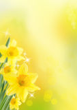Daffodil Background. Yellow Daffodils as Spring and Easter Background with shining Stars royalty free stock photography