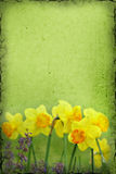 Daffodil Background Royalty Free Stock Image