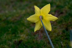 Daffodil Backside Stock Images