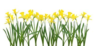 Free Daffodil Banner Royalty Free Stock Photography - 694617