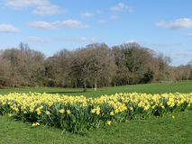 Daffodil beds at the Chorleywood House Estate, Hertfordshire stock photo
