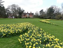 Daffodil beds at the Chorleywood House Estate, Hertfordshire royalty free stock image
