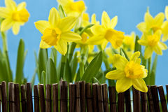 Daffodil behind fance on blue background Stock Photo