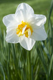 Daffodil bianco Fotografie Stock
