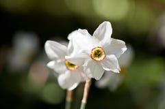 daffodil biel Fotografia Stock