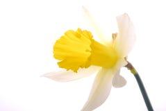 daffodil biel kolor żółty Zdjęcia Royalty Free