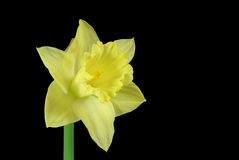 Daffodil on black Stock Photography