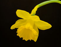 Daffodil on Black Stock Image