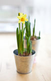 Daffodil in bloom Stock Photography