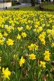 Daffodil bloom Stock Photo