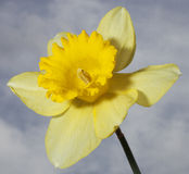 Daffodil in bloom with clouds behind Royalty Free Stock Image