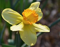 Daffodil. Blooming daffodil blooming in the garden Royalty Free Stock Photography