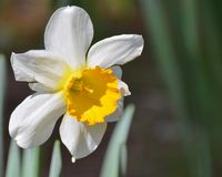 Daffodil. Blooming daffodil blooming in the garden Stock Image