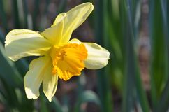 Daffodil. Blooming daffodil blooming in the garden Royalty Free Stock Images