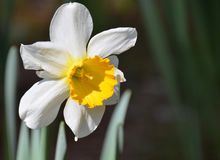 Daffodil. Blooming daffodil blooming in the garden Royalty Free Stock Image