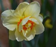 Daffodil. Blooming daffodil blooming in the garden Royalty Free Stock Photo